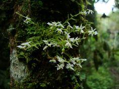Phymatidium delicatum