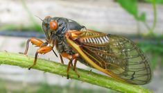 What the Buzz? Cicadas and Bird Populations | BirdSleuth Blog #CornellBirds