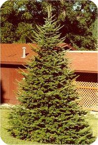 36 Best Christmas Tree Species Images Fraser Fir White Spruce