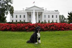 Bo, the Obama family dog, poses for a photo on the North Lawn of the White House, Sept. 28, 2012. (Official White House Photo by Chuck Kennedy)