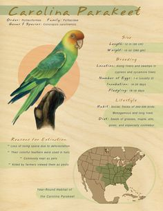 """The Carolina parakeet. Yes, there were once parrots flying the Southeast. I live in the Eastatoee Valley in Pickens County, SC. The Cherokee meaning is """"the valley of the GREEN BIRDS"""". Parrot Flying, Pickens County, Green Birds, The Fiery Cross, Twin Falls, State Birds, Southern Sayings, Extinct Animals, Good Ole"""
