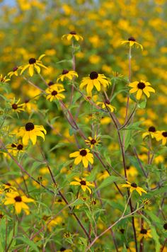 Rudbeckia triloba (Brown-eyed Susan). branched flowers 5' tall, full sun, tolerates different soil moistures.