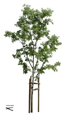 58.6M / 3492 x 5863 pixels. PNG image. Transparent background. Meticulous and sharp masking. 27,2 MB file ready to download. Celtis australis European Hackberry, European Nettle tree, Lote-tree.
