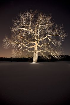 Black Walnut Tree - night