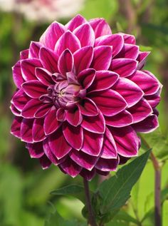 The impressive flower of Dahlia Purple Pearl is joy to see. The purple-red is complemented with white edges, accentuating the solid shape of the flower. The size of the flower is about 17 cm. Types Of Flowers, All Flowers, Flowers Nature, Exotic Flowers, Beautiful Flowers, Dahlia Flower, My Flower, Cranesbill Geranium, Garden Bird Feeders