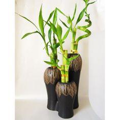 Lucky Bamboo Spiral Houseplant