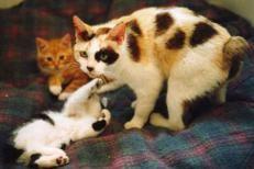 Southern Lynx Cattery Highlanders/Highland Lynx