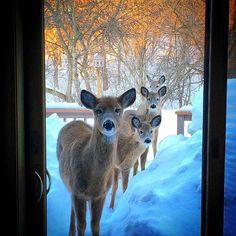 Deer on the deck.