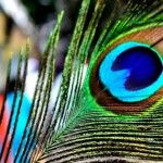 Beautiful Peacock Facebook Cover Photo