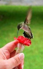 Charming a humming bird