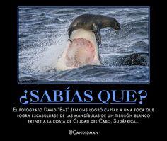 #Curiosidades El #Fotografo #DavidJenkins #Baz logró captar a una #Foca que logra escabullirse de las mandíbulas de un #TiburonBlanco frente a la costa de #CiudadDelCabo, #Sudafrica...  @Candidman