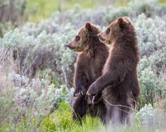 Growing up Grizzly by Troy  Harrison - Photo 129318881 / 500px