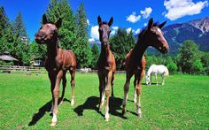 "PHOTO BY DAVE STEERS - Three foals from Dreamcatcher's ""Class of Dream of Dreamcatcher Meadows In 10 years, these Hanoverian horse-farm owners have gone from start-up to top of the class by Cathryn Atkinson Horse Shop, Horse Farms, Beautiful Horses, Farm House, Tiny House, Equestrian, Dream Catcher, Training Center, 10 Years"