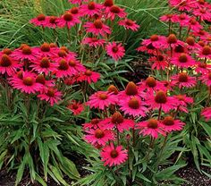 """Echinacea Dream™ Glowing Dream A compact habit, fragrance, and profusion of brilliant magenta blossoms make this a dreamy combination for sunny borders. With lineage that includes a Southeast native, Tennessee Coneflower, this selection was chosen for its hardiness, drought tolerance, and long bloom time. Make sure to plant extra for bringing indoors.  Height 23""""; Fragrant; Full sun; Blooms in Jul-Sep; Spacing 18-24"""""""