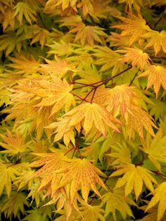(Zones 4 – Add glowing golden foliage to the garden Autumn Moon Fullmoon Maple -- New growth unfurls yellow to burnt orange; fall foliage displays shades of gold to red. Right sized for small gardens with limited space. Partial to full sun. Garden Shrubs, Garden Trees, Garden Plants, Trees And Shrubs, Trees To Plant, Deciduous Trees, Arrangements Ikebana, Small Trees, Small Gardens