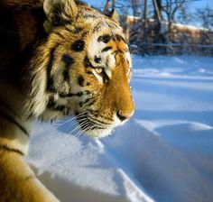 """Tigre 2"" by Alain Robillard | Redbubble"