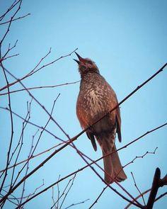 朝から熱唱。 声からすると毒舌的だけれどね。   #bird #鳥