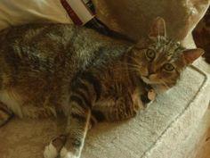Lost Cat - Domestic Short Hair - Hamilton, ON, Canada L8L 4P5