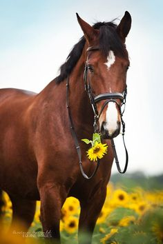 Bay horse in sunflower field Guilty Face by Carina Maiwald Most Beautiful Horses, All The Pretty Horses, Animals Beautiful, Animals And Pets, Funny Animals, Cute Animals, Wild Animals, Cute Horses, Horse Love
