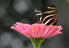 https://flic.kr/p/LcVQen | Zebra Longwing DSC_0525 8-20 | This wild flower is a favorite among the butterflies in the yard.  One butterfly leaves and another takes its place.  Or one butterfly is enjoying the nectar and another chases it away in order to take its place.