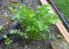 Herbs: Parsley