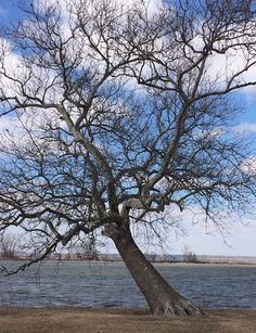 Sycamore tree by Sugar Lake at Lewis and Clark State Park in Missouri