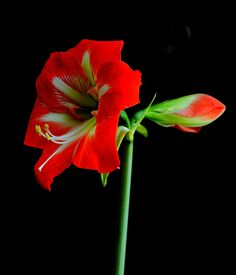 Red Amaryllis by Nate A, via 500px
