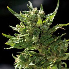 Barney's Farm Sweet Tooth one of the best bud shots of an autoflower strain full with resin.