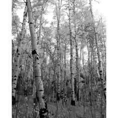Aspen trees snow black and white B&W Colorado landscape photograph print 8x10 by mistyphoto on Etsy https://www.etsy.com/listing/100755828/aspen-trees-snow-black-and-white-bw
