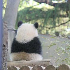 Ball of fluff ❤️ Cutest Animals On Earth, Cute Baby Animals, Funny Animals, Panda Bebe, Cute Panda, Panda Day, Funny Panda Pictures, Cute Animal Quotes, Panda Wallpapers