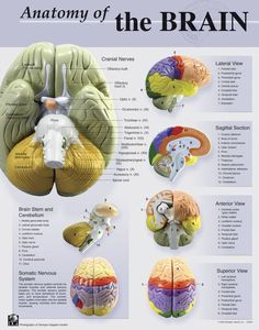 Denoyer-Geppert Anatomy of the Brain Poster, 22 x 28 Inches Life Science Products, Books Supplies, Item Number 531023 Human Brain Anatomy, Human Anatomy And Physiology, Brain Science, Life Science, Computer Science, Brain Poster, Brain Facts, Medical Anatomy, Cranial Nerves