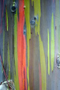 Rainbow eucalyptus aka rainbow gum: patches of outer bark are shed annually at different times, darkening and maturing to give blue, purple, orange and then maroon tones.