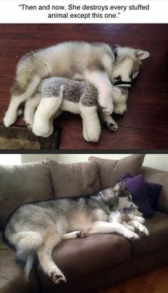 50 Funny Husky Memes That Will Keep You Laughing For Hours - Funny Husky Meme - Funny Husky Quote - The post 50 Funny Husky Memes That Will Keep You Laughing For Hours appeared first on Gag Dad. Animal Jokes, Funny Animal Memes, Cute Funny Animals, Cute Baby Animals, Funny Memes, Wild Animals, Funny Videos, Funniest Memes, Dog Quotes Funny