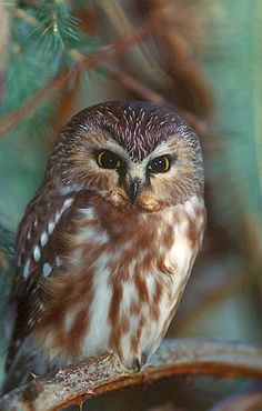 Northern Saw-whet Owl (Aegolius acadicus). Photo by Jared Hobbs.