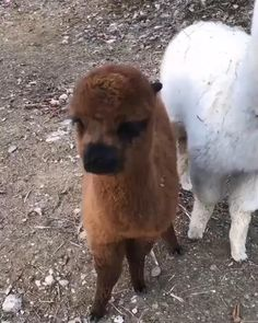Come here an alpaca boop on ya. - No Drama Lama - Animals Baby Animals Super Cute, Cute Little Animals, Cute Funny Animals, Cute Cats, Cute Animal Videos, Cute Animal Pictures, Cute Alpaca, Baby Alpaca, Tier Fotos