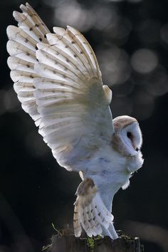 yes-larry123:10bullets:  by pat killelea  Barn Owl