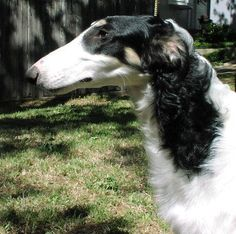 LOST  DFW Notice: Black/white Borzoi lost in the vicinity of Collins/Park Row in Arlington. She is a tall, thin, greyhound type dog with longer hair. A photo will be posted soon. Contact us, iggyforms@yahoo.com, if you spot her. Shelter works please keep an eye out for her too.