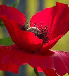 The Beauty of Flowers Macro Fotografie, Arte Floral, Gras, Red Poppies, Mother Nature, Planting Flowers, Beautiful Flowers, Bloom, Plants