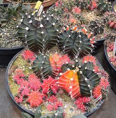 DEAW CACTUS นักสะสมและพัฒนาแคคตัส 3 พันธุ์ดัง Cacti And Succulents, Planting Succulents, Gerbera, Coops, Christmas Wreaths, Flora, Surat Thani, Cactus Cactus, Birthday Parties