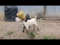 2 goats manage to get thier heads stuck in 1 bucket - http://blog.clairepeetz.com/2-goats-manage-to-get-thier-heads-stuck-in-1-bucket/