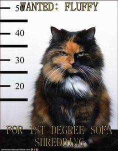 WANTED: FLUFFY  FOR 1ST DEGREE SOFA SHREDDING http://cheezburger.com/9035229440/fur-degree-sofa-shredding
