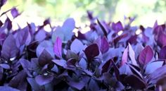 http://www.bestplants.com.au/emporium-plants/little-ruby.html Little Ruby™ Alternanthera dentata 'LRU30' PBR is a compact ground cover plant with deep burgundy foliage. A real stand out plant! Click here for more info on Little Ruby™ Alternanthera http://www.bestplants.com.au/emporium-plants/little-ruby.html