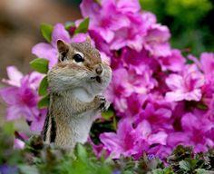 Chipmunks are so cute! Cute Creatures, Beautiful Creatures, Animals Beautiful, Animals And Pets, Baby Animals, Cute Animals, Texas Animals, Animal Pictures, Cute Pictures