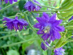 Second Silver - Columbine flower seeds: Wild, Double Burgandy Blue, Danish Dwarf red pink Barlow blue Spring Plants, Spring Garden, Columbine Flower, Flower Seeds, Dwarf, Red And Pink, Danish, Flowers, Silver