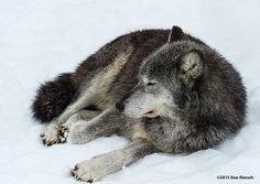 wolf-speedwell forge