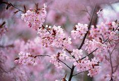 lovely blossem. Cherry blossem I believe.
