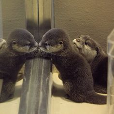 "maggielovesotters: "" Little otter is fascinated with his reflection Source: https://twitter.com/otterbeginner/status/658872994350022656 """