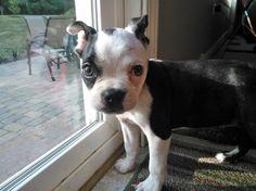 dozer, Boston Terrier, csbarks.org