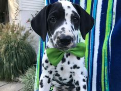 Dalmatian puppy for sale in QUARRYVILLE, PA. ADN-42611 on PuppyFinder.com Gender: Male. Age: 7 Weeks Old