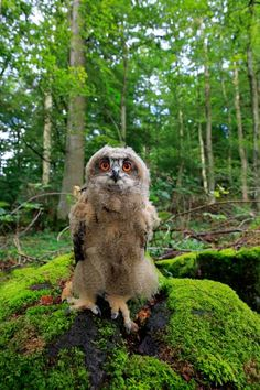 Owl Stock Photos & Owl Stock Images - Page 35 - Alamy Eurasian Eagle Owl, Short Eared Owl, Tawny Owl, Barred Owl, Great Grey Owl, Great Horned Owl, Gray Owl, Stock Foto, Owls
